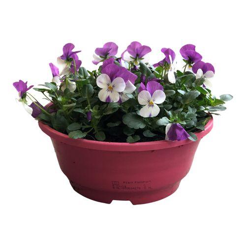 Buitenplant  Viola Cornuta schaal roze