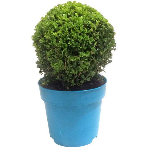 Buxusbol (Buxus Sempervirens) blauw potmaat 23cm h 40cm