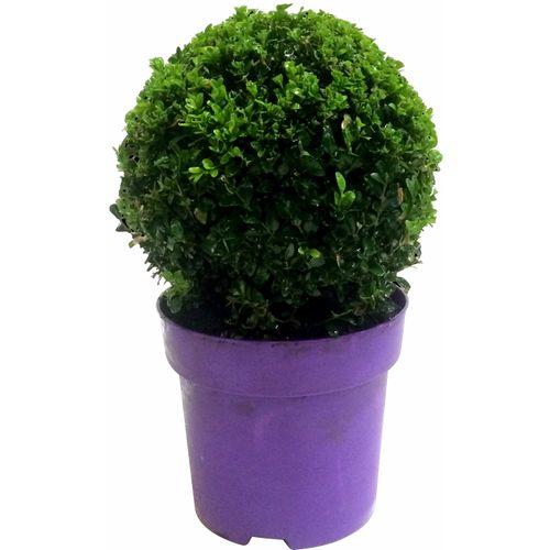 Buxusbol (Buxus Sempervirens) paars potmaat 23cm h 40cm