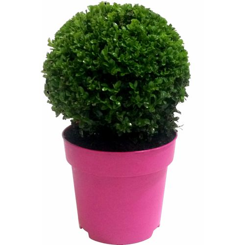 Buxusbol (Buxus Sempervirens) roze potmaat 23cm h 40cm
