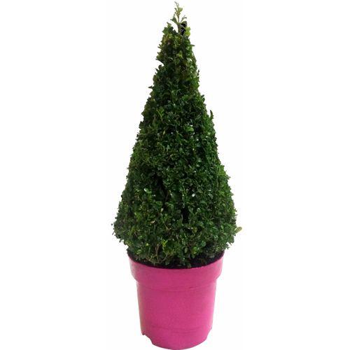 Buxus piramide (Buxus Sempervirens) roze potmaat 23cm h 65cm