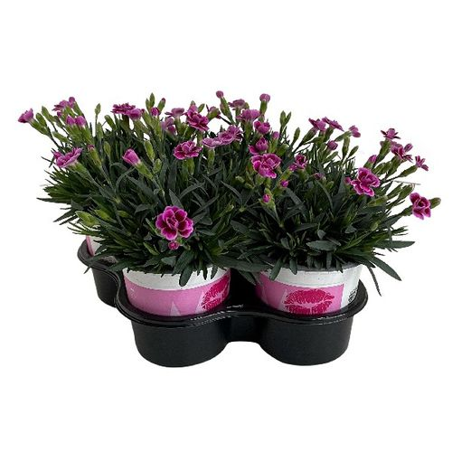 Anjer (Dianthus Pink Kisses) 4 stuks potmaat 10cm h 20cm