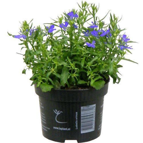 Perkplanten zaai potmaat 10cm h 10cm (kiezen in winkel)
