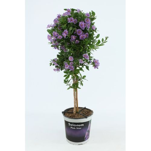 Solanum Rantonnetii (Lycianthes Rantonnetii) 75cm Kies in winkel