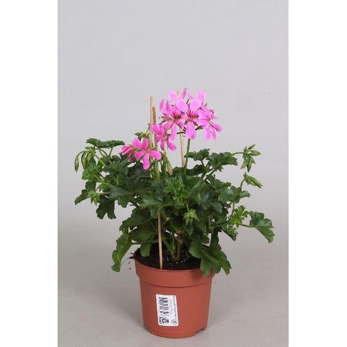 Geranium (Pelargonium) potmaat 10,5cm h 27cm