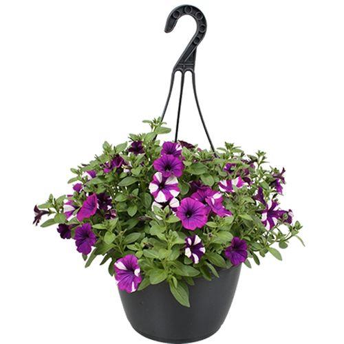 Terrasplant (Petunia) (Kies in winkel) potmaat 25cm h 45cm