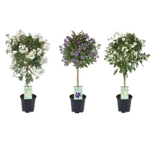 Klimmende nachtschade (Solanum Jasminoides) 70cm