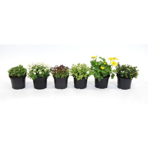 Vaste planten (Kies in winkel) potmaat 13cm h 12cm