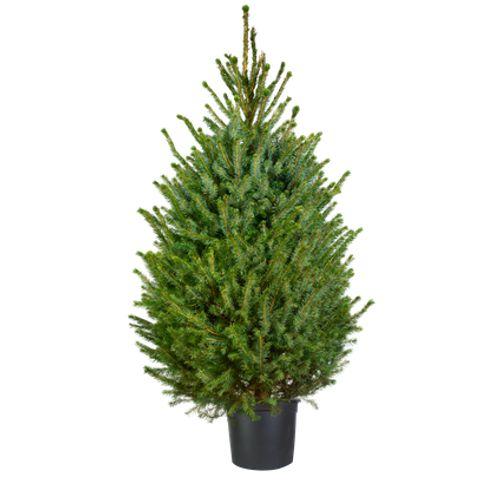 Central Park kerstboom Omorika 80-100cm