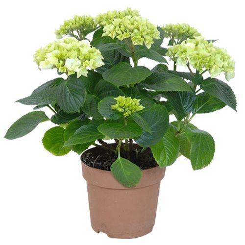 Hortensia (Hydrangea Macrophilla) (kies in winkel) potmaat 14cm h 35cm