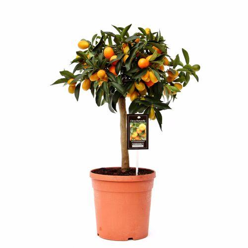 Kumquatboom (Citrus Japonica Kumquat) potmaat 20cm h 60cm