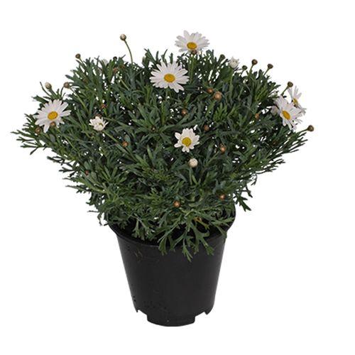 Struikmargriet (Argyranthemum Frutescens) potmaat 19cm h 35cm