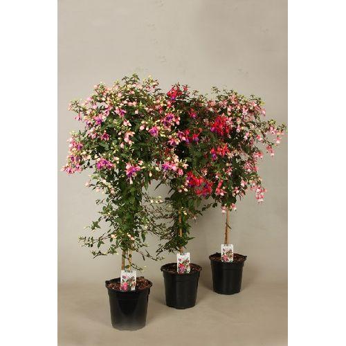 Bellenplant (Fuchsia) op stam (kies in winkel) potmaat 19cm h 90cm