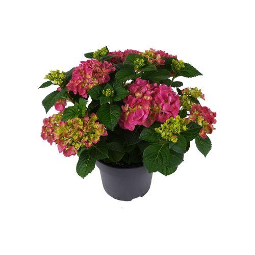 Hortensia (Hydrangea Macrophilla) mix 40cm
