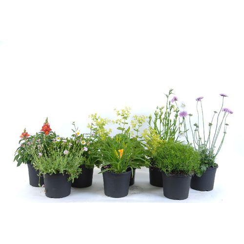 Vaste planten (kies in winkel) potmaat 17cm h 15cm