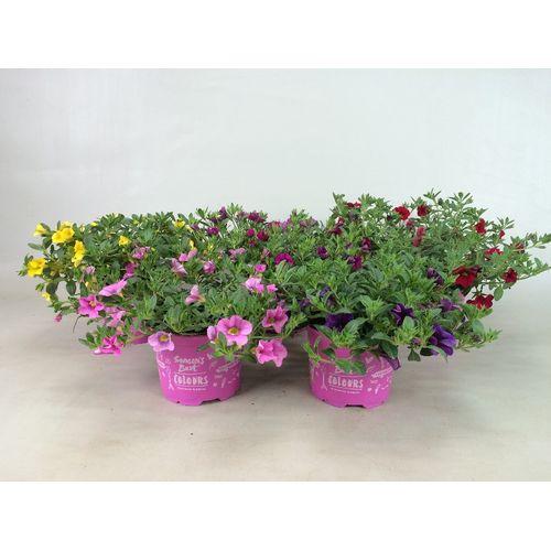 Terrasplant (Petunia) (Kies in winkel) potmaat 12cm h 15cm