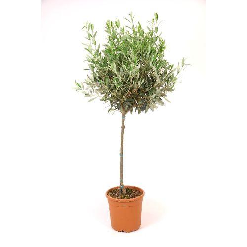 Olijfboom Olea Europaea 95cm