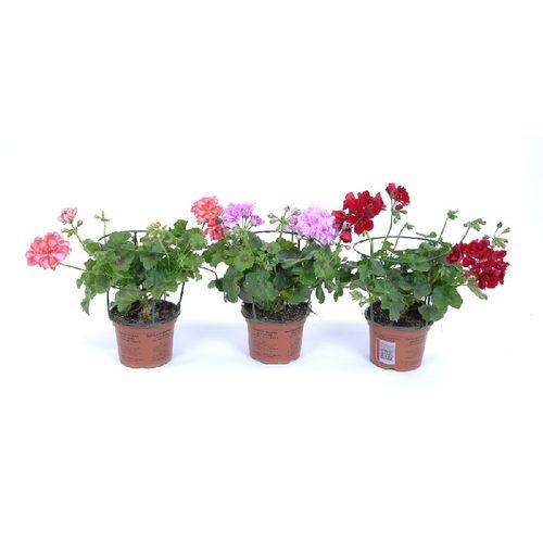 Geranium (Pelargonium) (kies in winkel) potmaat 12cm h 20cm