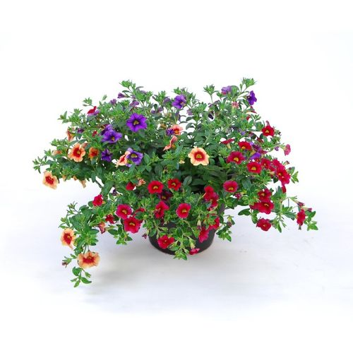 Perkplant Mixed Colours potmaat 19cm h 25cm