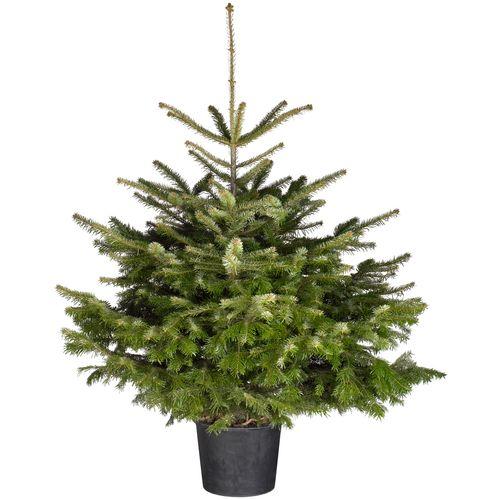 Kerstboom Nordmann A-kwaliteit 80-100cm in pot