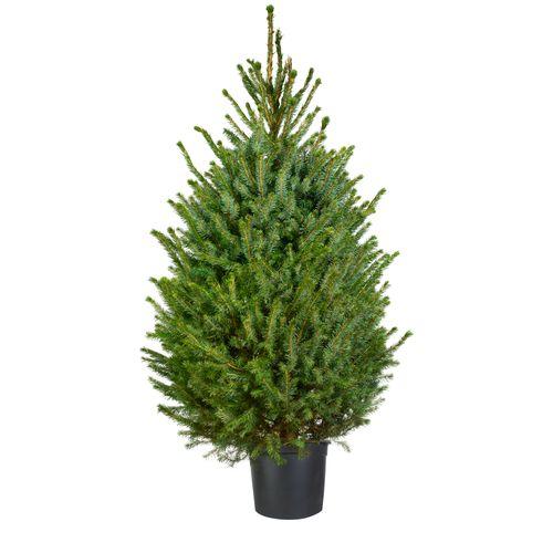 Kerstboom Omorika 125-150cm in pot
