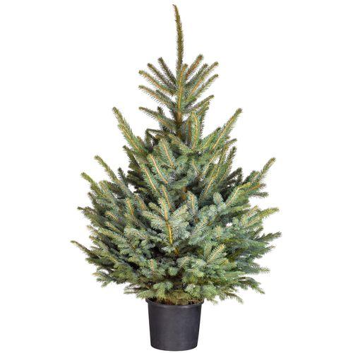 Kerstboom Blauwspar 80-100cm in pot