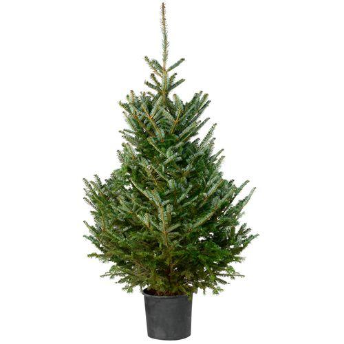 Kerstboom Fraseri 150-175cm in pot
