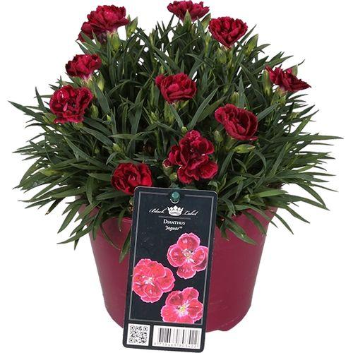 Lentebloeier Anjer (Dianthus Double) potmaat 15cm h 20cm