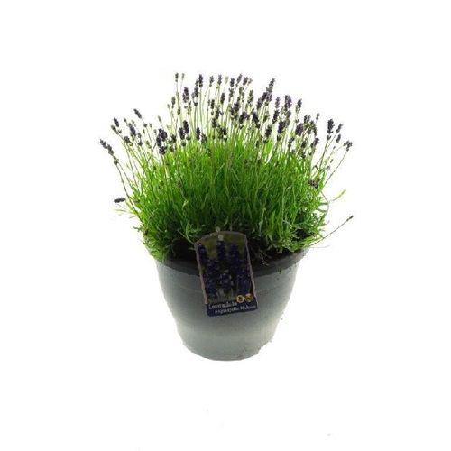 Lavendel (Lavandula Lamorosia) potmaat 23cm h 40cm