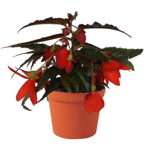 Scheefblad (Begonia Waterfall) potmaat 12cm h 20cm