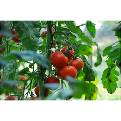 Tuteur tomate en spirale ACD noir 170 cm – 10 pcs