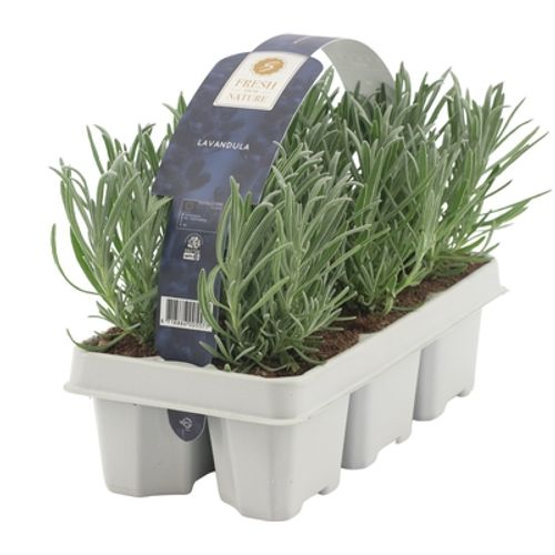 Lavendel (Lavandula Angustifolia) potmaat 1cm h 18cm 6 stuks