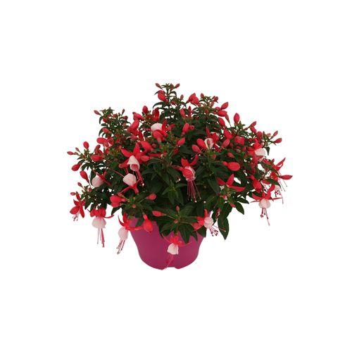 Bellenplant (Fuchsia) diversen