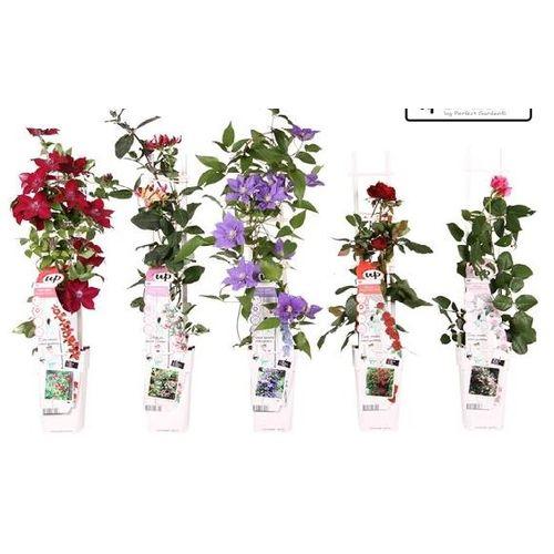 Klimplanten (kies in winkel) potmaat 15cm h 65cm