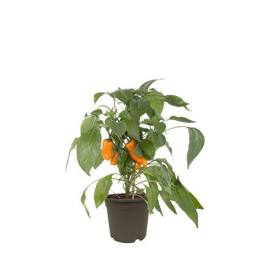 Oranje paprika potmaat 14cm h 37cm