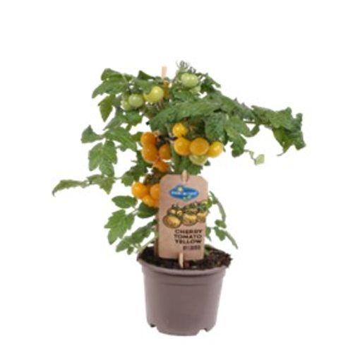 Cherry tomaten geel  potmaat 14cm h 37cm