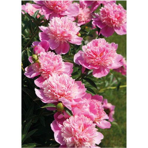 PB-Collection tuinschilderij Peony Light Rose 40x30cm